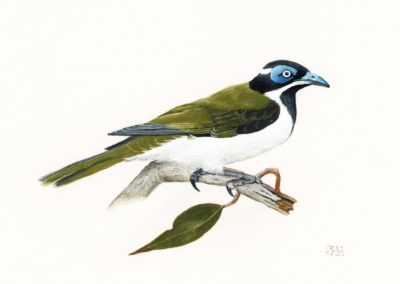 Blue-faced Honeyeater // SOLD
