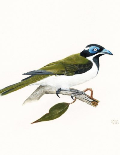 Blue-faced Honeyeater *SOLD*