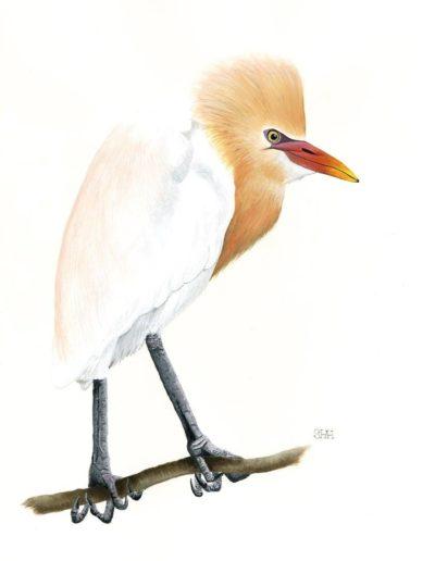 Cattle Egret *SOLD*