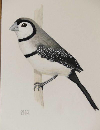 Double Barred Finch *SOLD*