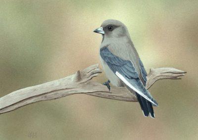 Dusky Woodswallow // SOLD