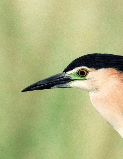 Nankeen Night Heron *SOLD*