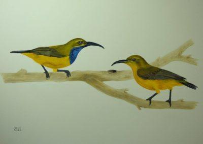 Olive Backed Sunbirds // $147
