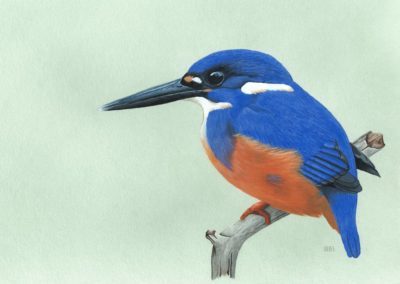 Perched Kingfisher 1/25  // $65