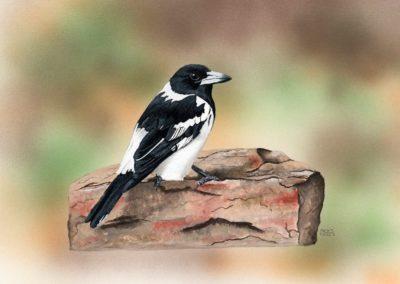 Pied Butcherbird // $270
