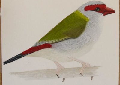 Red Browed Finch 2 // $90