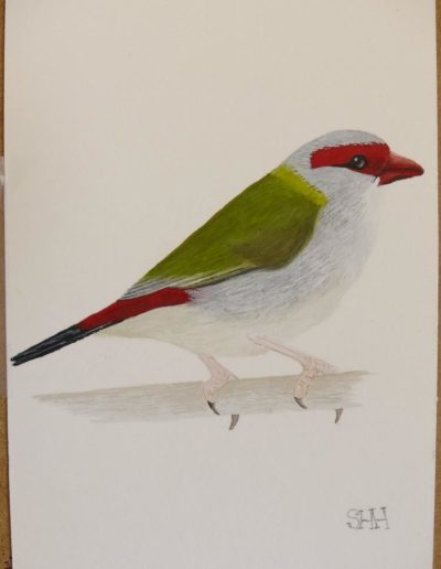Red Browed Finch 2
