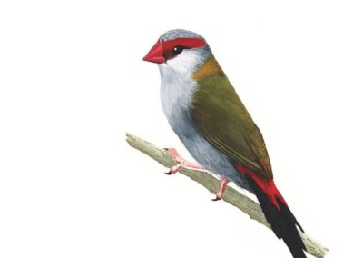 Red Browed Finch // SOLD