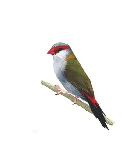 Red Browed Finch *SOLD*