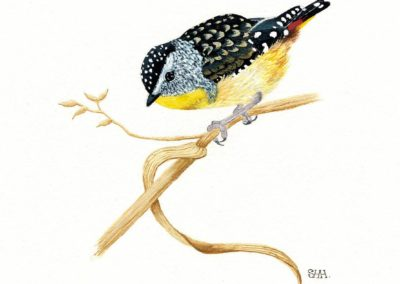 Spotted Pardalote 2 // SOLD