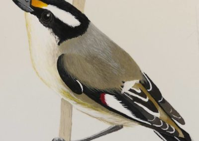Striated Pardalote 2 // SOLD