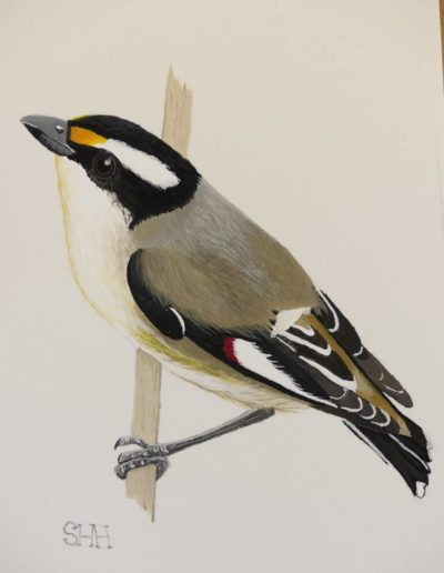 Striated Pardalote 2 *SOLD*