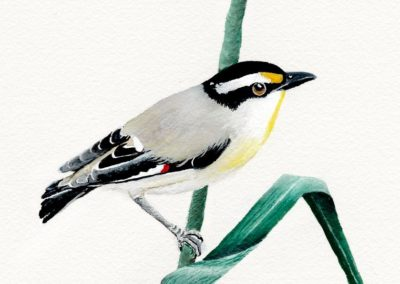 Striated Pardalote // SOLD