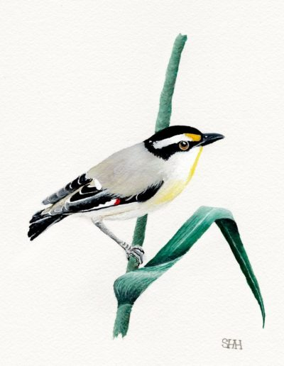 Striated Pardalote *SOLD*