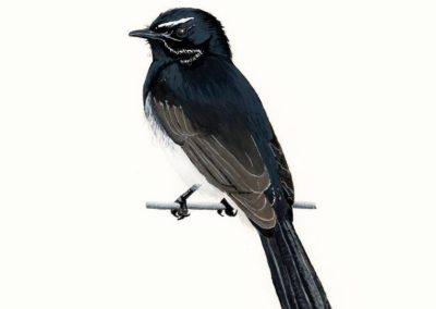 Willie Wagtail // SOLD