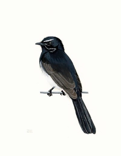 Willie Wagtail *SOLD*