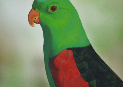 Red Winged Parrot // $270